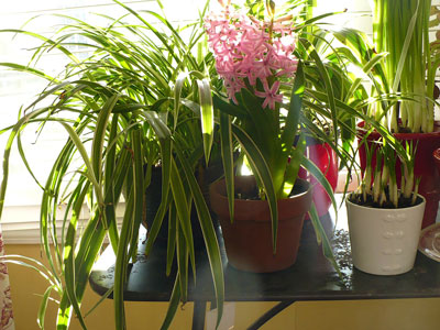 indoor-winter-blooming-garden-with-pink-flower-and-tropical-indoor-plant-over-black-table-adorable-indoor-plant-decoration-inspiration-types-of-indoor-plants-indoor-tropical-plants-low-light-indoor
