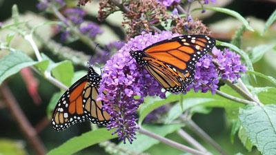 monarch-butterflies-on-butterfly-bush-jeans-garden-toronto-ontario